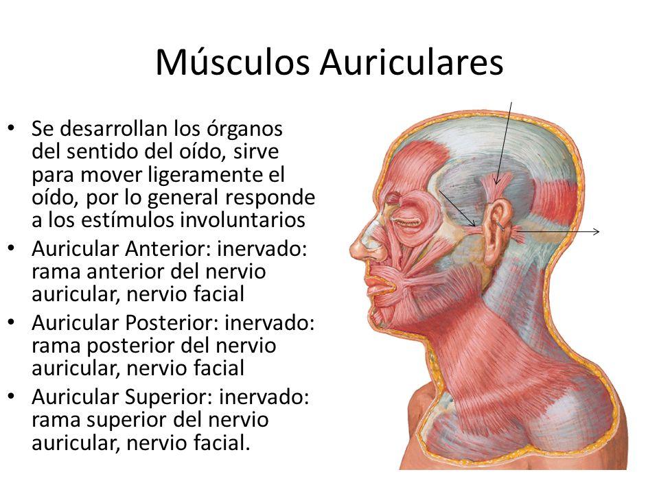Músculos Auriculares