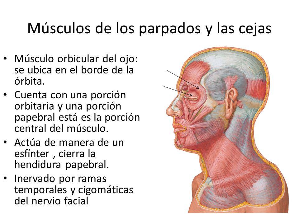 Músculos de los parpados y las cejas