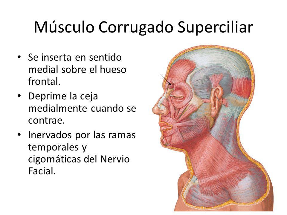 Músculo Corrugado Superciliar