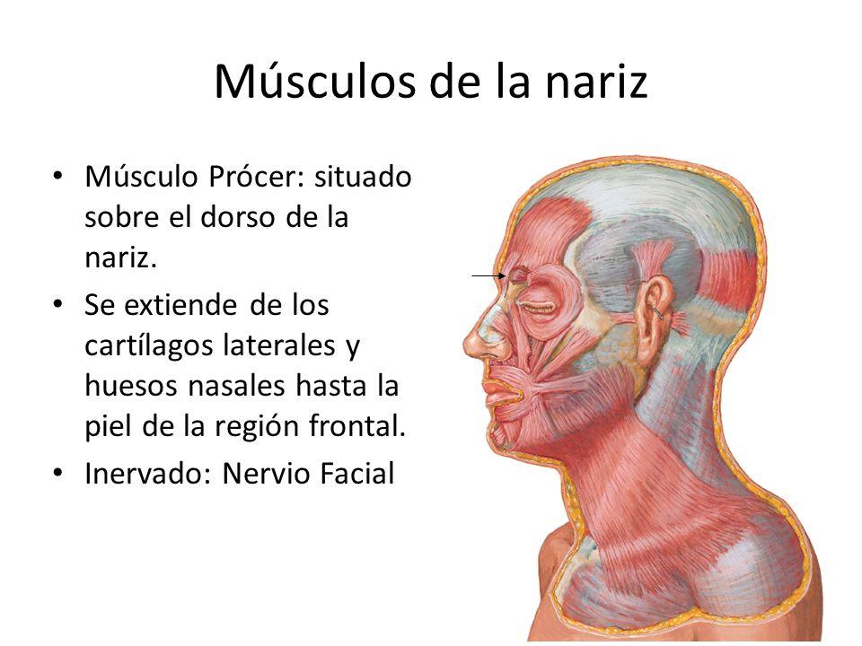 Músculos de la nariz Músculo Prócer: situado sobre el dorso de la nariz.