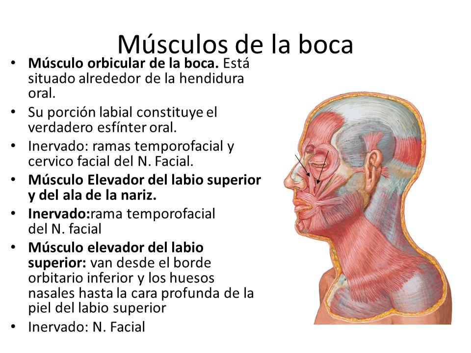 Músculos de la boca Músculo orbicular de la boca. Está situado alrededor de la hendidura oral.