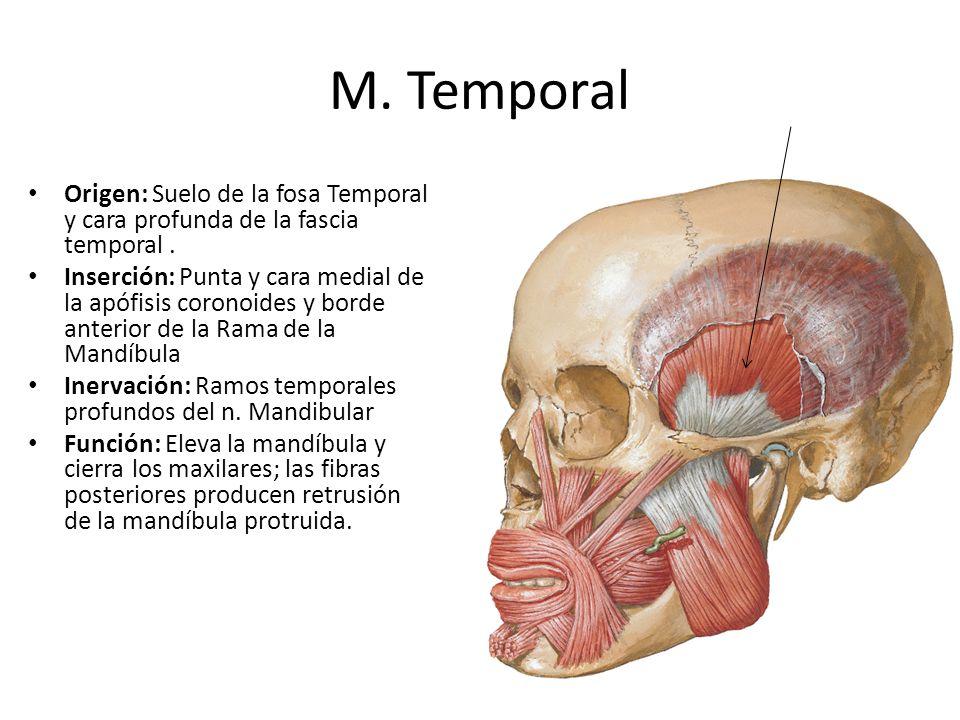 M. Temporal Origen: Suelo de la fosa Temporal y cara profunda de la fascia temporal .