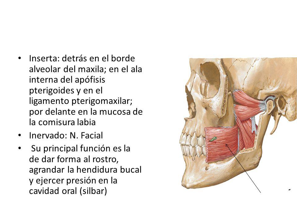 Inserta: detrás en el borde alveolar del maxila; en el ala interna del apófisis pterigoides y en el ligamento pterigomaxilar; por delante en la mucosa de la comisura labia