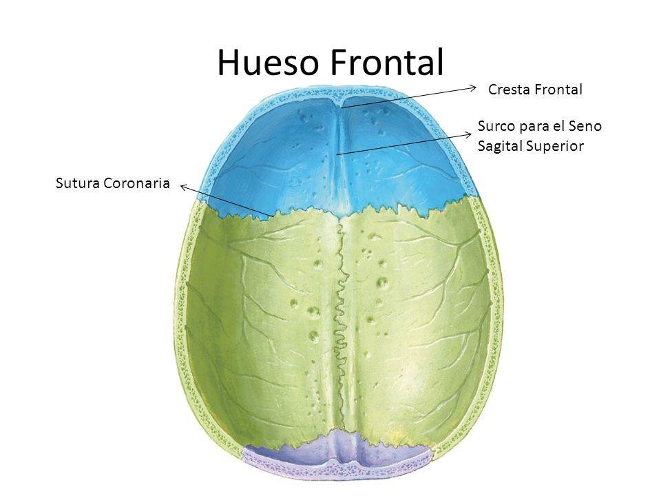 Hueso Frontal Cresta Frontal Surco para el Seno Sagital Superior