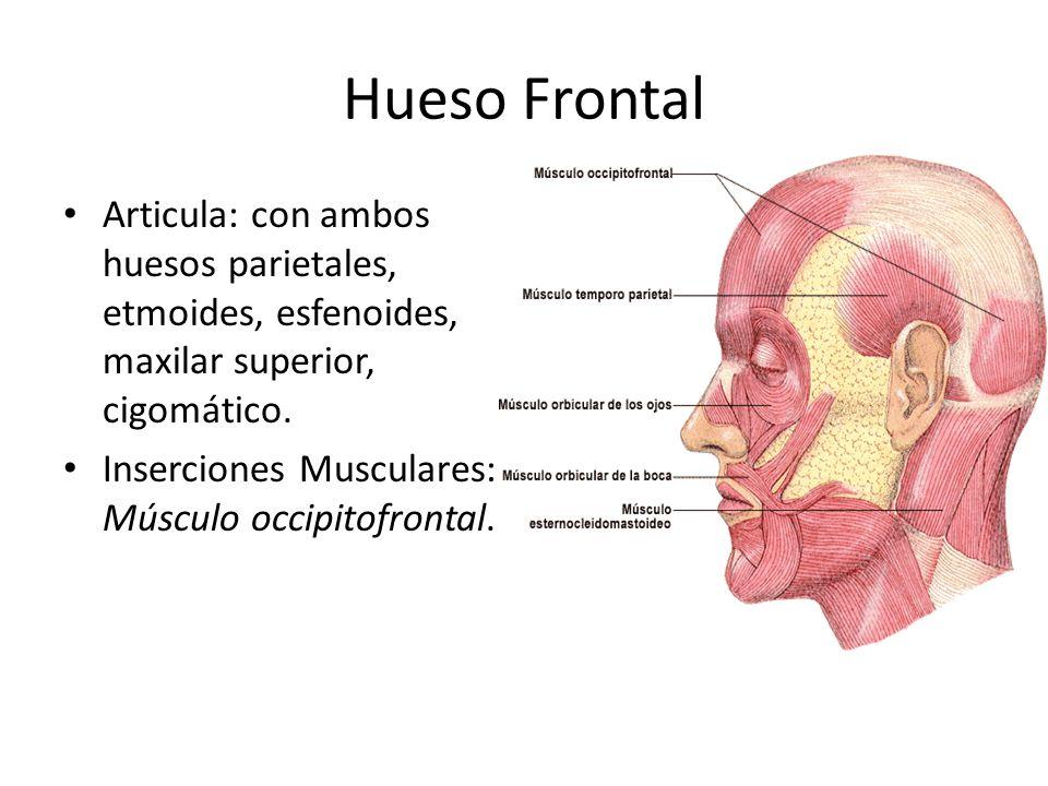 Hueso Frontal Articula: con ambos huesos parietales, etmoides, esfenoides, maxilar superior, cigomático.
