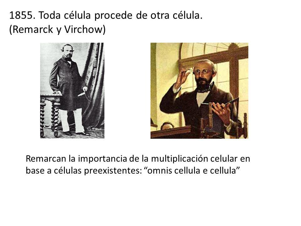 1855. Toda célula procede de otra célula. (Remarck y Virchow)