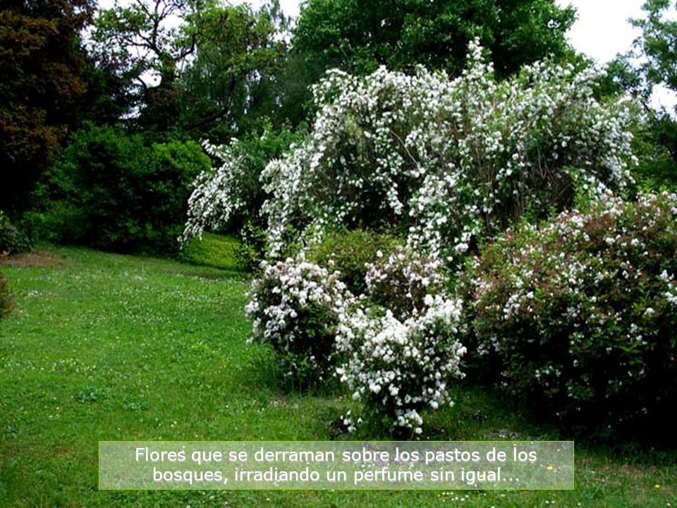 Flores que se derraman sobre los pastos de los bosques, irradiando un perfume sin igual...
