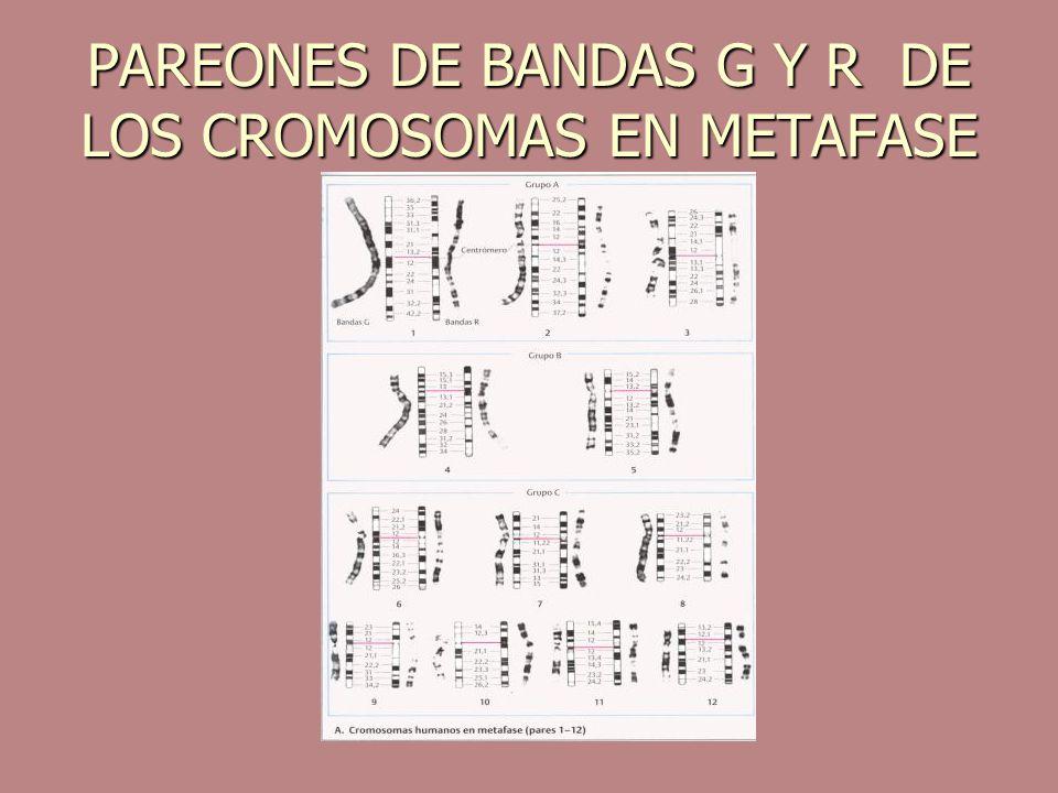 PAREONES DE BANDAS G Y R DE LOS CROMOSOMAS EN METAFASE
