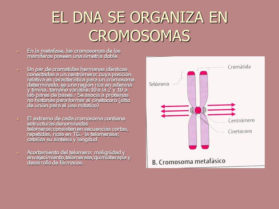 EL DNA SE ORGANIZA EN CROMOSOMAS