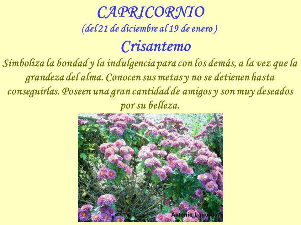 (del 21 de diciembre al 19 de enero ) Crisantemo