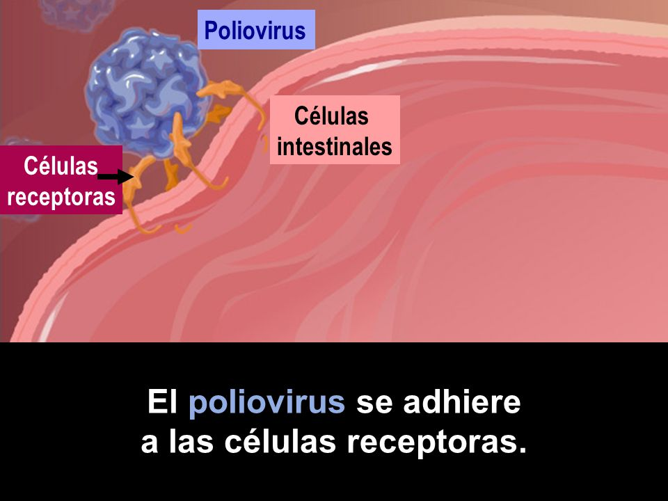El poliovirus se adhiere a las células receptoras.