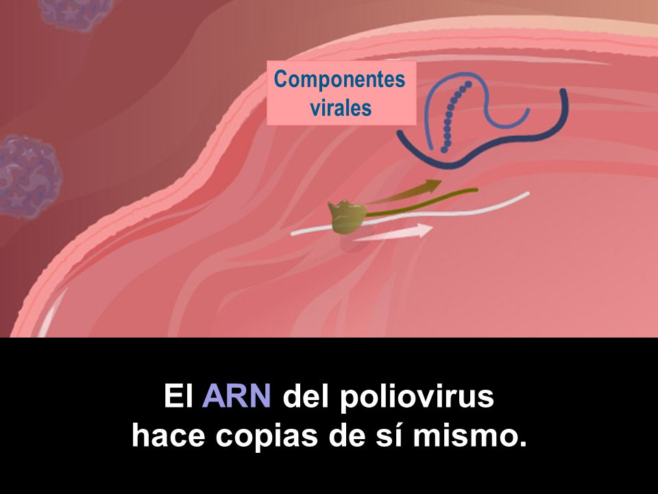 El ARN del poliovirus hace copias de sí mismo.
