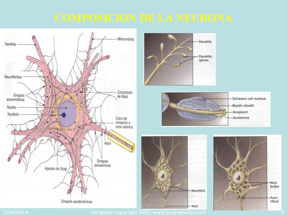 COMPOSICION DE LA NEURONA
