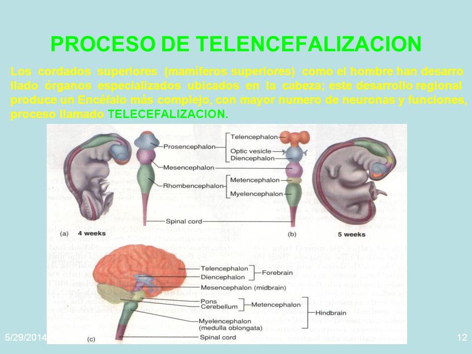 PROCESO DE TELENCEFALIZACION