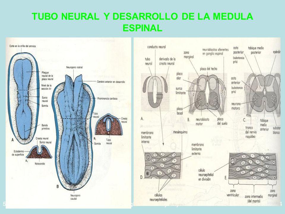 TUBO NEURAL Y DESARROLLO DE LA MEDULA ESPINAL