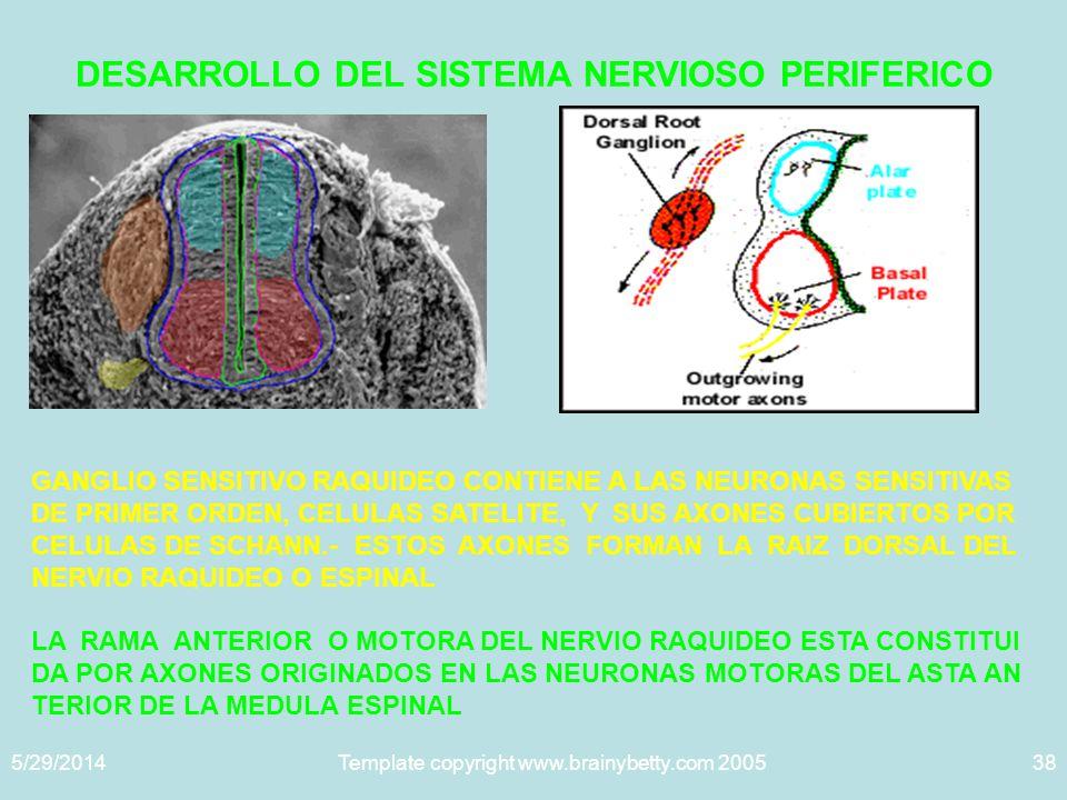 DESARROLLO DEL SISTEMA NERVIOSO PERIFERICO