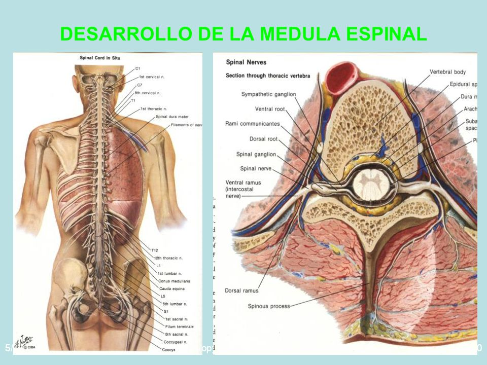 DESARROLLO DE LA MEDULA ESPINAL