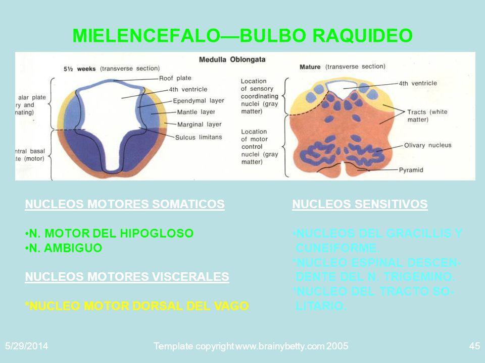 MIELENCEFALO—BULBO RAQUIDEO