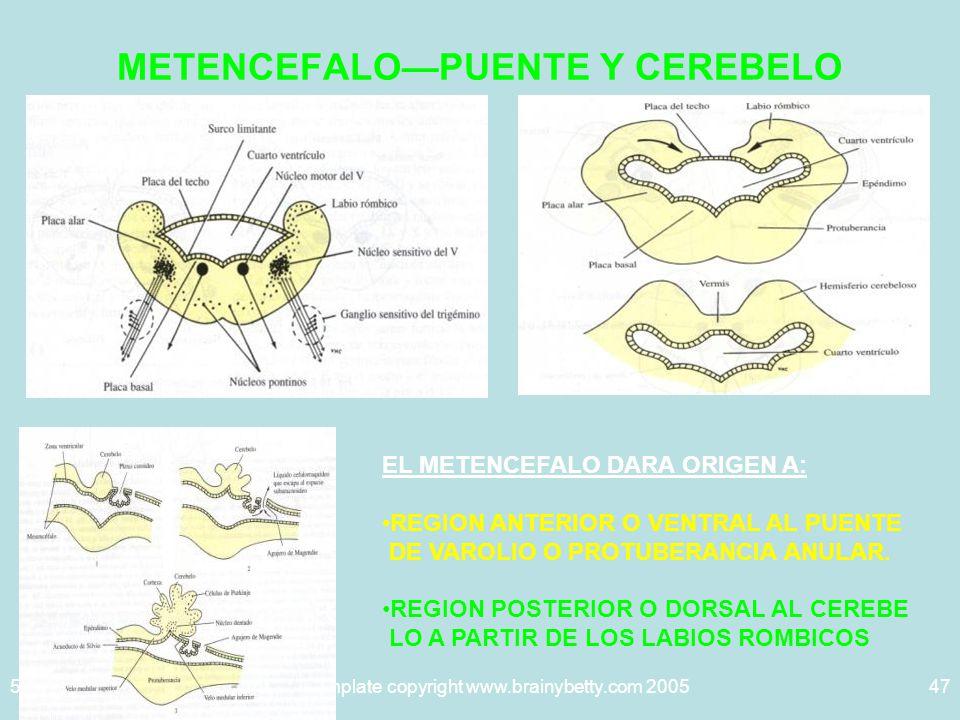 METENCEFALO—PUENTE Y CEREBELO