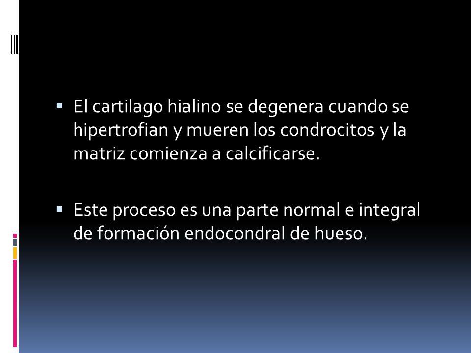 El cartilago hialino se degenera cuando se hipertrofian y mueren los condrocitos y la matriz comienza a calcificarse.