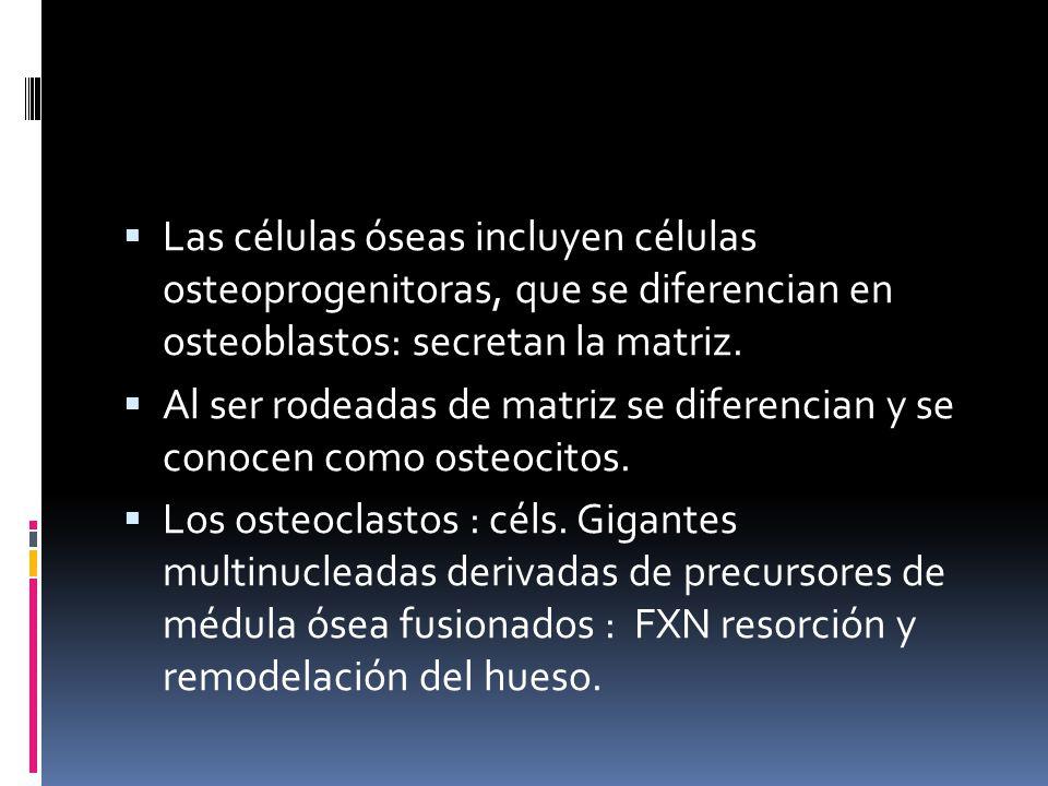 Las células óseas incluyen células osteoprogenitoras, que se diferencian en osteoblastos: secretan la matriz.