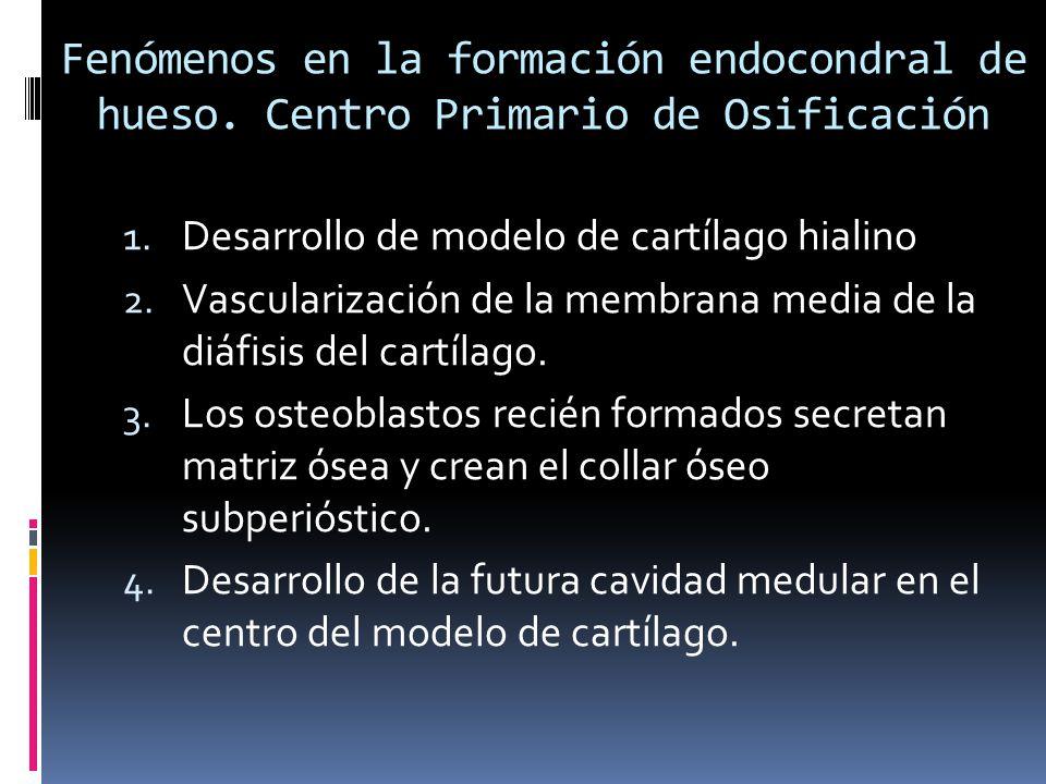 Fenómenos en la formación endocondral de hueso