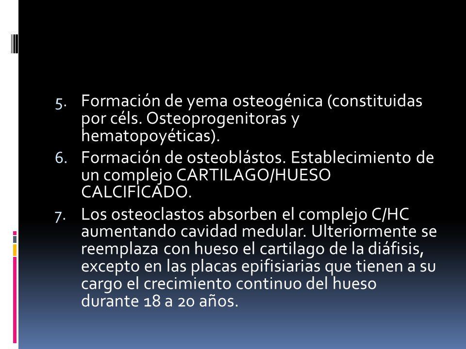 Formación de yema osteogénica (constituidas por céls