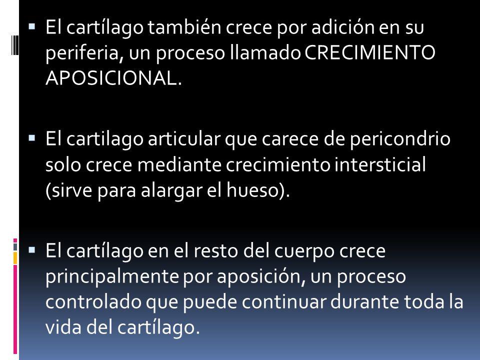 El cartílago también crece por adición en su periferia, un proceso llamado CRECIMIENTO APOSICIONAL.