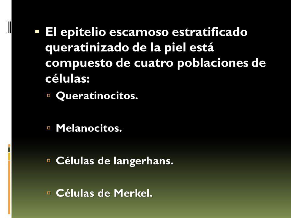 El epitelio escamoso estratificado queratinizado de la piel está compuesto de cuatro poblaciones de células: