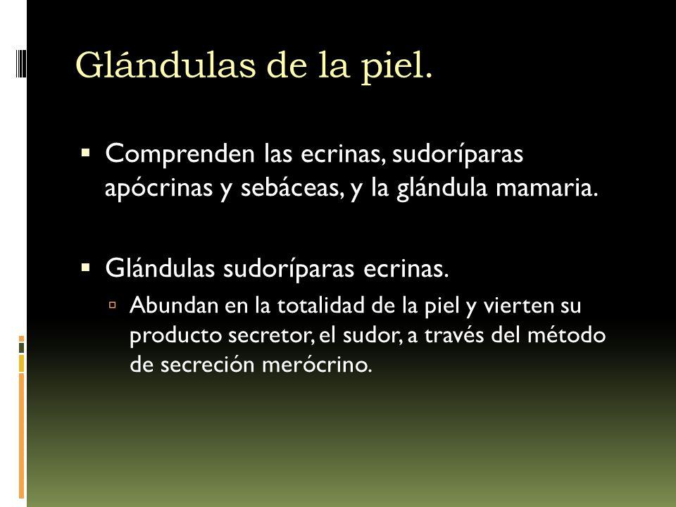 Glándulas de la piel. Comprenden las ecrinas, sudoríparas apócrinas y sebáceas, y la glándula mamaria.