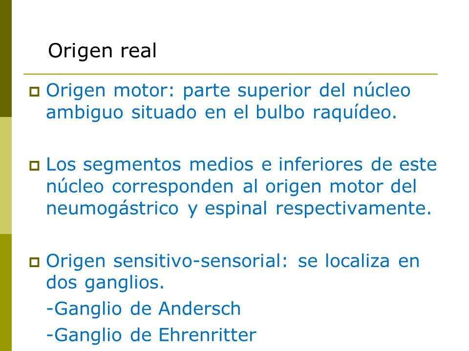 Origen real Origen motor: parte superior del núcleo ambiguo situado en el bulbo raquídeo.