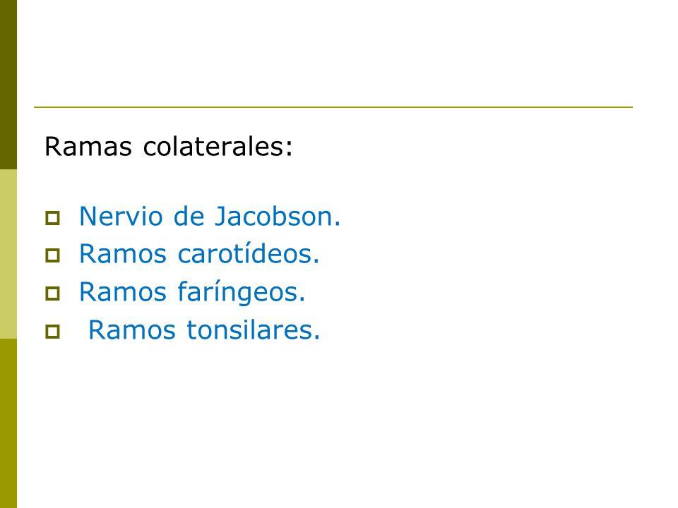 Ramas colaterales: Nervio de Jacobson. Ramos carotídeos. Ramos faríngeos. Ramos tonsilares.