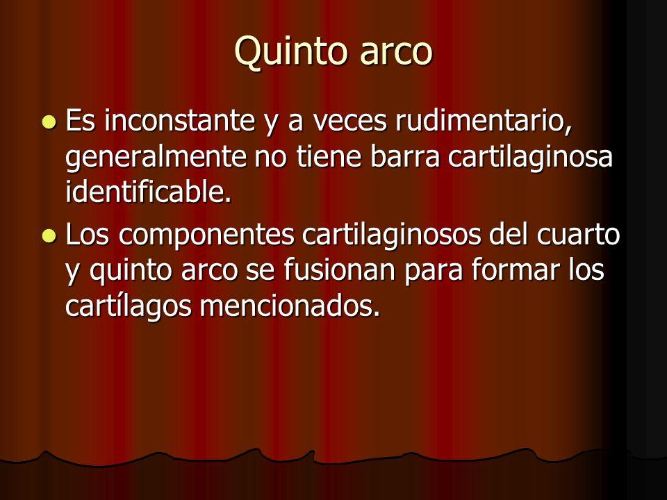 Quinto arco Es inconstante y a veces rudimentario, generalmente no tiene barra cartilaginosa identificable.