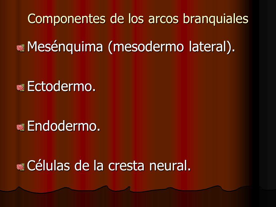 Componentes de los arcos branquiales