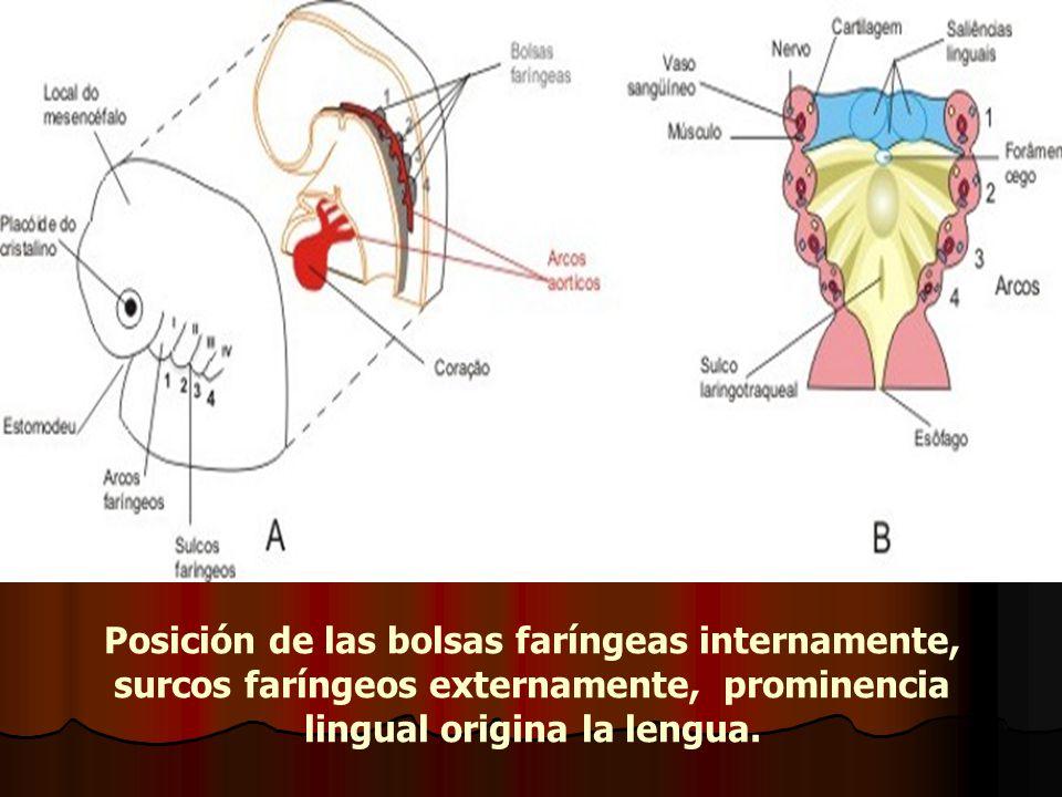 Posición de las bolsas faríngeas internamente, surcos faríngeos externamente, prominencia lingual origina la lengua.