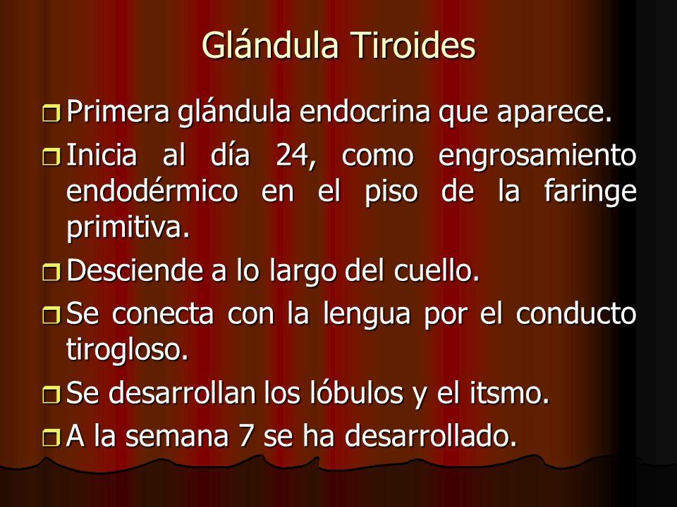 Glándula Tiroides Primera glándula endocrina que aparece.
