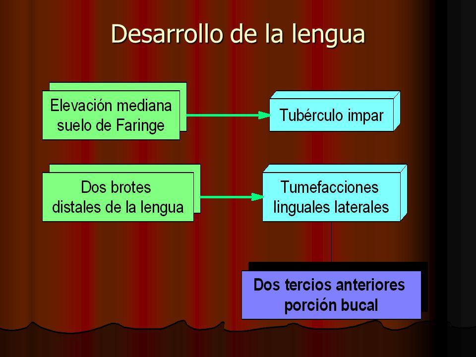 Desarrollo de la lengua