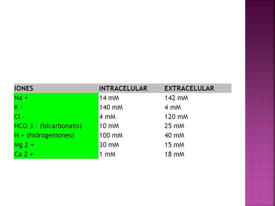 IONES INTRACELULAR. EXTRACELULAR. Na + 14 mM. 142 mM. K - 140 mM. 4 mM. Cl - 120 mM. HCO 3 - (bicarbonato)