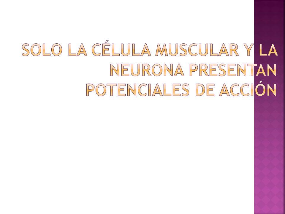 Solo la célula muscular y la neurona presentan potenciales de acción