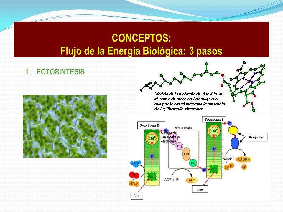 CONCEPTOS: Flujo de la Energía Biológica: 3 pasos