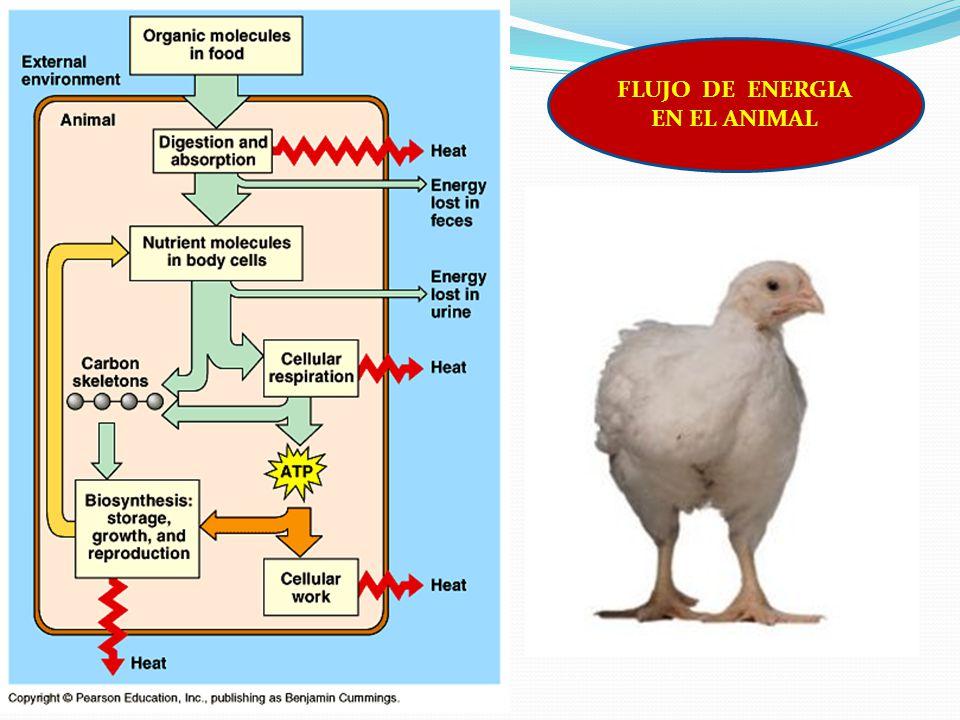 FLUJO DE ENERGIA EN EL ANIMAL