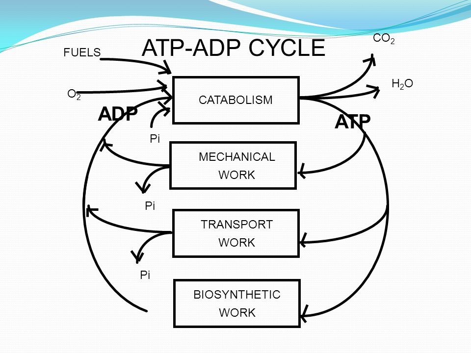 ATP-ADP CYCLE ADP ATP CO2 FUELS H2O O2 CATABOLISM Pi MECHANICAL WORK