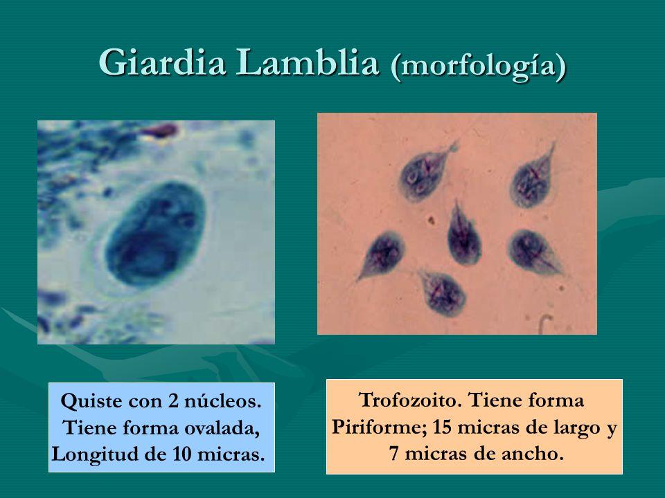 Giardia Lamblia (morfología)