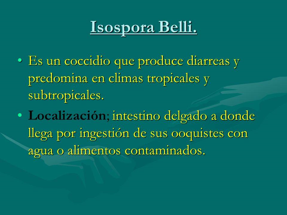 Isospora Belli. Es un coccidio que produce diarreas y predomina en climas tropicales y subtropicales.