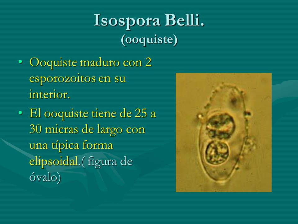 Isospora Belli. (ooquiste)