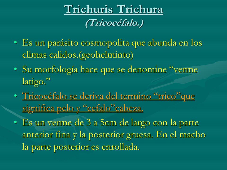 Trichuris Trichura (Tricocéfalo.)