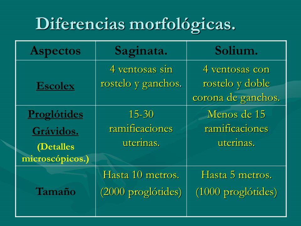 Diferencias morfológicas.