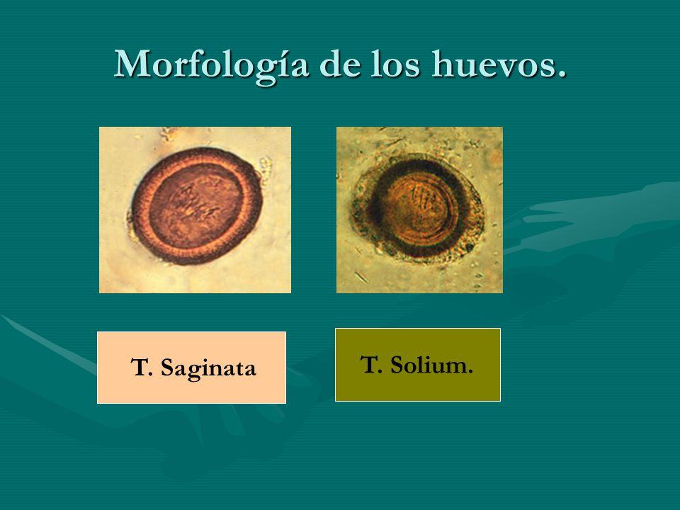 Morfología de los huevos.