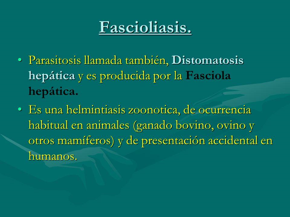 Fascioliasis. Parasitosis llamada también, Distomatosis hepática y es producida por la Fasciola hepática.