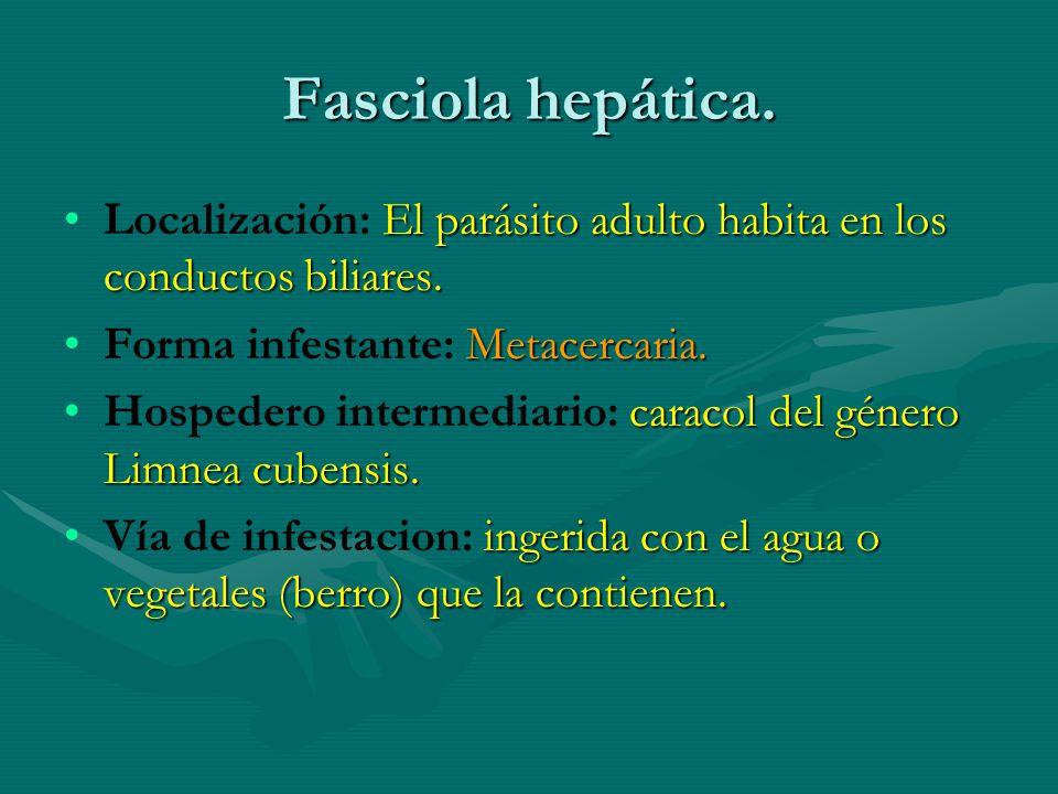 Fasciola hepática. Localización: El parásito adulto habita en los conductos biliares. Forma infestante: Metacercaria.